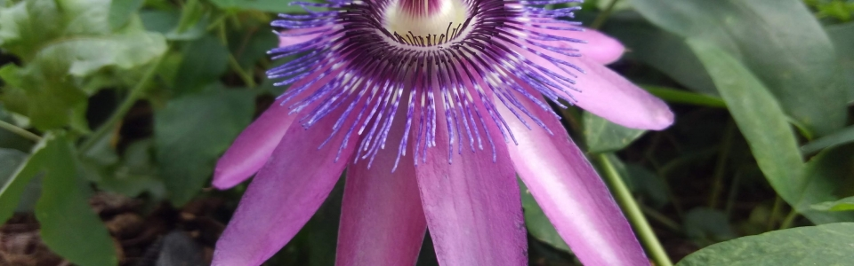 passiflora, passion flower lavender lady